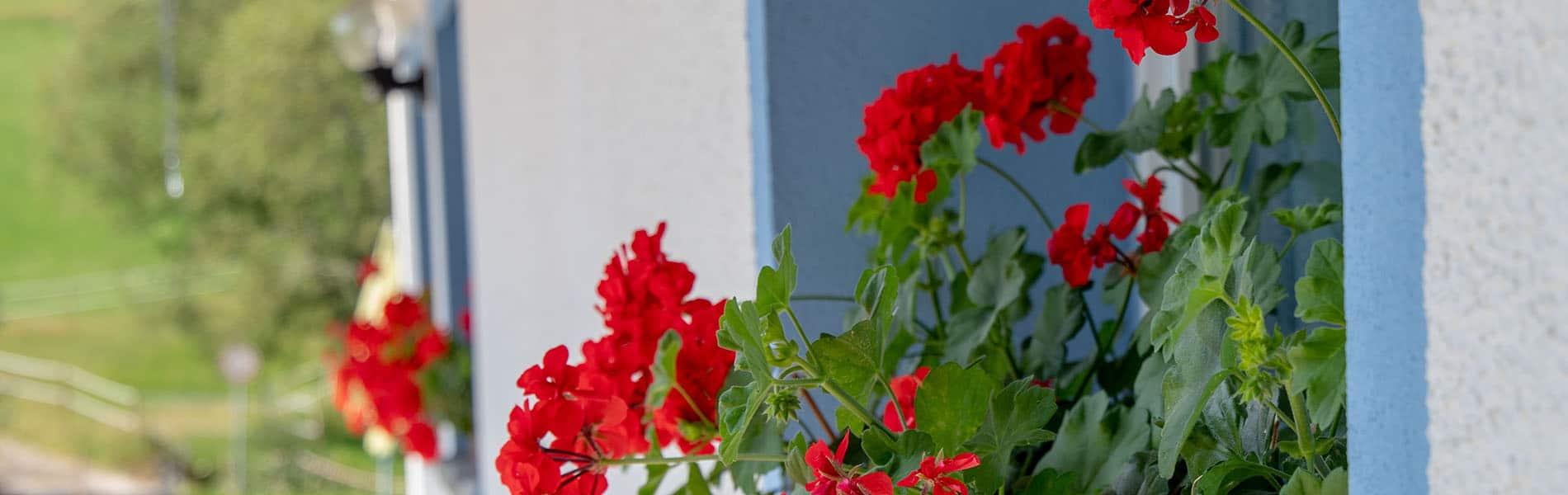 Blaue Fensterrahmen Geranien Josenmuehle